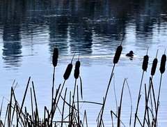 (T Power) Tags: city canada reflection nature grass silhouette tag3 taggedout vancouver duck tag2 tag1 burnaby ripples grainy metrotown urbanskyline deerlake