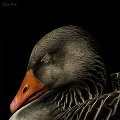 Sleeping (moggierocket) Tags: sleeping portrait black bird animal square bravo quiet teeth beak feathers goose asleep tame 500x500 impressedbeauty winner500