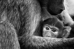 Mother [ in ] Mono (| HD |) Tags: africa hairy baby white black eye 20d monochrome animal canon mom monkey eyes hug child kenya mother safari ape hd motherhood darwish hamad wwwhamaddarwishcom highqualityanimals
