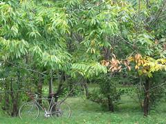 American Chestnut Trees