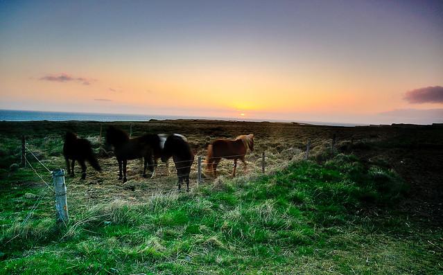 Horses at Vatnsnes, Iceland