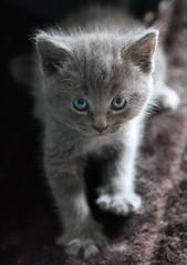 Carlton! (FocusedWright) Tags: pet cats cat grey kitten feline kitty fluffy kittens