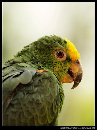 Yellow-headed Amazon Parrot (Amazona oratrix)