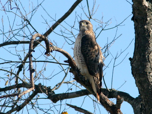 Red-tailed Hawk 20101102