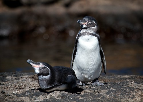 Galapagos Penguin by webgoers