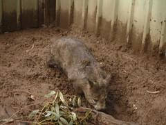 Lone Pine Wombat1