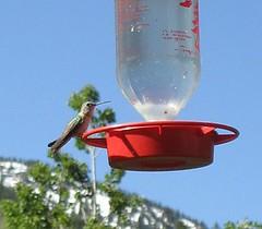 Hummingbird at Silver ForkLodge