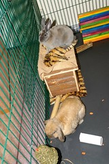 Eric & Flopsy ! (Mark Philpott) Tags: new pets house rabbit bunny home eric sony mini together r1 rex opal bonding playpen tawny lop flopsy rabbitat