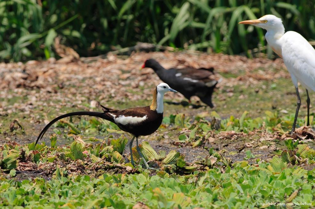 Pheasant-tailed Jacana 水雉-6
