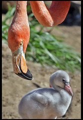 flamingo mom and babe - by stevehdc