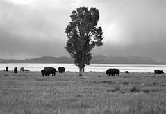 Bison Herd, Grand Teton - 1 (my hovercraft is full of eels) Tags: montana idaho snakeriver yellowstone wyoming bison grandteton abhijit oldbarn grandtetonnationalpark jacksonlake tetonvillage mormonrow pronghornantelope antelopeflats