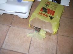 DSCF0859 (fadingembers) Tags: animals kitties bruiser bigpurplehouse