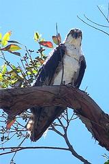 Sea Hawk 1 (krissiepics) Tags: bird art nature animal hawk seahawk