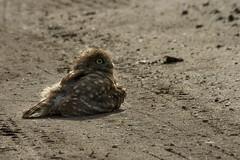 Adelr_20070707_383-Edit (reneadelerhof) Tags: dustbath owllittleowlatheneathene