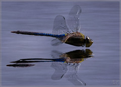 The Art Of A Dragonfly (BluAlien) Tags: life california blue wild lake macro reflection nature water animal closeup fauna bug insect fly flying inflight amazing pond nikon bravo zoom action dragonfly ripple wildlife flight soe odonata d40 ma