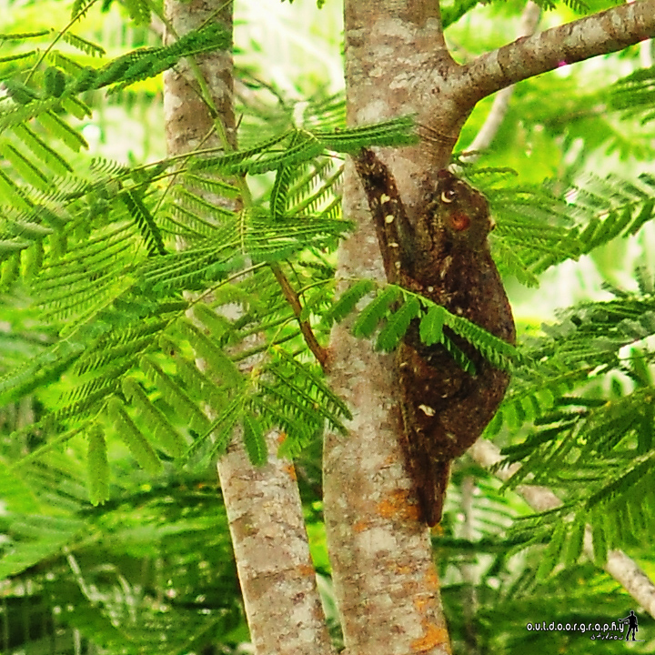 Colugo | Flying Lemur (by Sir Mart Outdoorgraphy™)