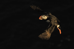 Puffin (Fratercula arctica) (m. geven) Tags: ocean orange bird nature animal fauna bill iceland clown natuur puffin lowkey dier avian vogel seabird avondlicht oranje isl avifauna westfjords birdinflight oceaan fraterculaarctica papageitaucher birdcliff flyingbird darkbackground alcidae ijsland papegaaiduiker clownesk snavel macareuxmoine latrabjarg specanimal zeevogel vogelrots colonybird vliegbeeld donkereachtergrond vliegendevogel viseter kolonievogel ijslandiceland alkachtige klifvogel fischeater vogelklif