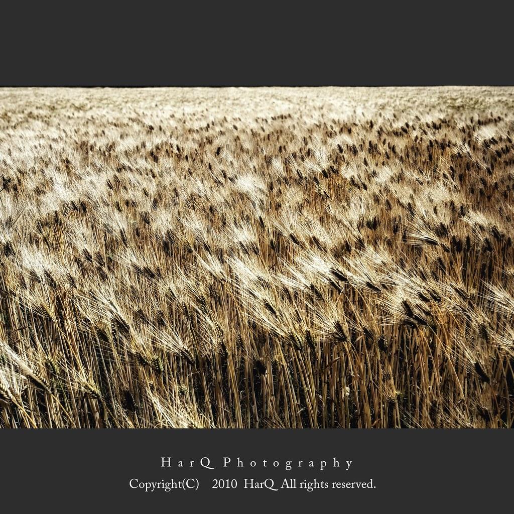 Wheatfield *