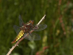 """Female Broad-Bodied Chaser (Libellula(1) • <a style=""""font-size:0.8em;"""" href=""""http://www.flickr.com/photos/57024565@N00/531860518/"""" target=""""_blank"""">View on Flickr</a>"""