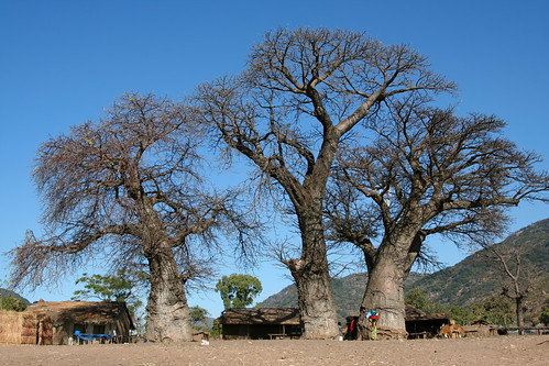 Baobabs on the Beach