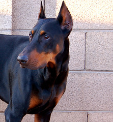 Karl Friedrich Louis Dobermann Creation: The Doberman ~ Zeus