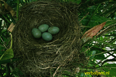 Nest Blackbird