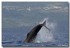 Physeter Macrocephalus (PedroMadruga) Tags: ocean sea wild mammal wildlife pico whale breaching azores açores spermwhale cetaceo cetacean openocean pedromadruga southofpico suldopico