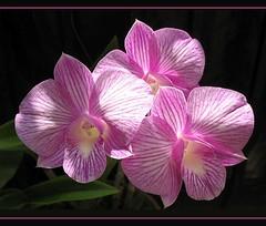 Triple delights of Dendrobium 'Burana Stripe'
