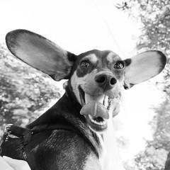 prendo il volo!!!!! (kilometro 00) Tags: street italy dogs animal animals cane casa strada italia occhi forza terra amici gatto cavallo amicizia gatti animali animale vita treviso citt vivere cani kilometro veneto cagnolino camminare porfido sguardi comune 500x500 correre pecora bastardino urbani racconti orecchie mattone impressedbeauty superhearts trevision vitaanimale winner500 kilometrooo