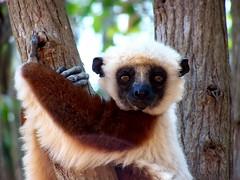 LEMUR _ 100_8275 (norali_photos) Tags: africa flowers cute nature animals fauna flora wildlife lemur lemurs madagascar wildlifephotography 1naturewildlifephotographerscorner soavinandriamanitra personalbestourfavoritephotos