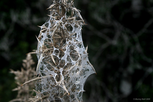 Web on Gorse