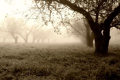 The Orchard (ICT_photo) Tags: morning tree apple fog orchard ictphoto ianthomasguelphontario