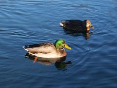 park toronto ontario canada bay duck east e etobicoke mallard humber