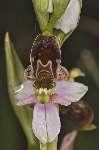 Ophrys scolopax? et errances taxinomiques - Page 2 5188836688_131e163ae8