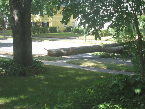 Elm Tree Harvesting on 46th Ave S