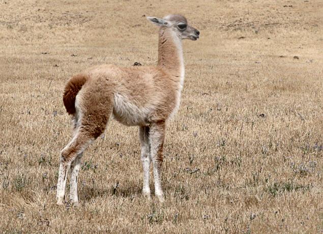 guanaco baby