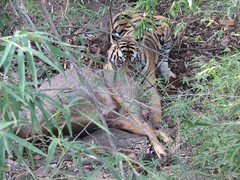 Tiger With Kill (rohini_kamath) Tags: park copyright india animal mammal tiger national pradesh bandhavgarh rohini madhya kamath flickrbigcats ifornature rohinikamath