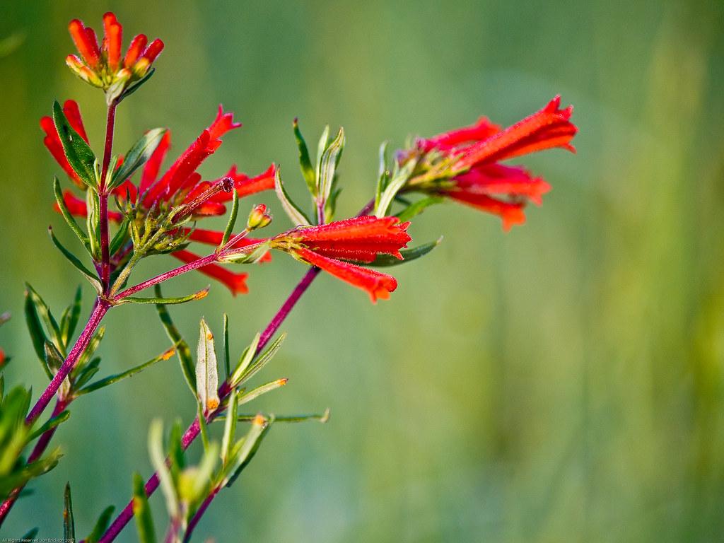 Red Trumpet Flower 2