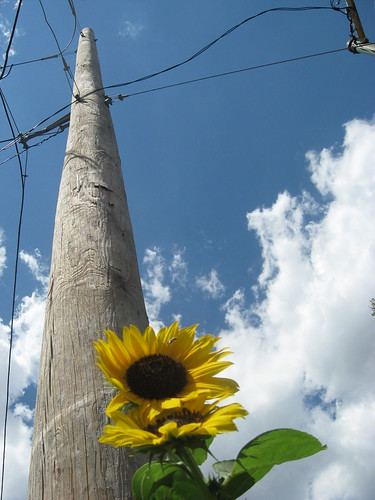 telephone pole, blue sky with clouds, sunflowers, bee