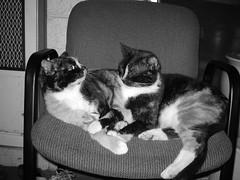 Honeygirl & Honeyboy (cosmorama) Tags: cats black38white