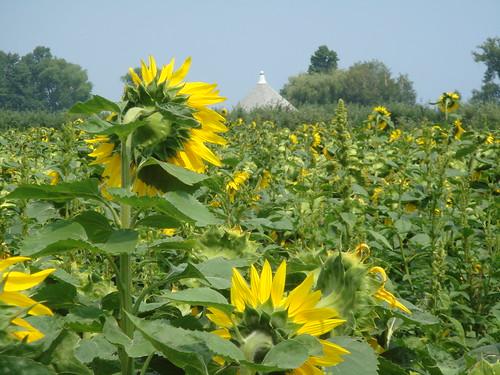 Longing Sunflower