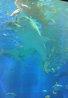 海くんにコバンザメ