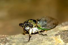Dogday Harvestfly 2