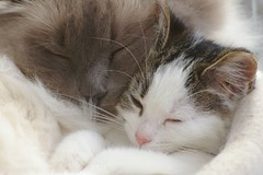 Najim and Kaylee sleeping together (Mandy Verburg) Tags: pet cat kitten kat feline pussy kitty ek 500 huisdier poes kaylee blueribbonwinner katachtige cyper thebiggestgroup cc400 cc300 cc200 cc100 cc500 kissablekat mandyarjan bestofcats kittyschoice diamondclassphotographer flickrdiamond superhearts thebiggestgroupwithonlycats
