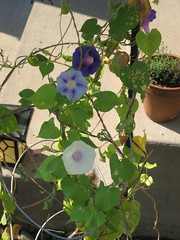 morningglories 010