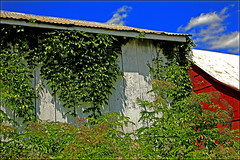 Strangulation (FotoEdge) Tags: summer vines midwest south weathered homestead lush strangled redbarn humid oldplace countryroads overwhelm strangulation overtake fotoedge