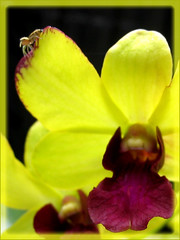 Tiny spider on Dendrobium Chaisri Gold 'Hawaii'