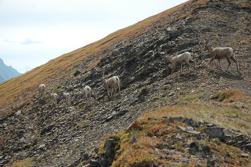 Sheep Crossing Opal Ridge