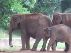 Sri Chamarajendra Zoological Gardens (dciandy) Tags: india elephant zoo mysore babyelephant mysorezoo srichamarajendrazoologicalgardens