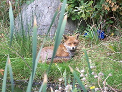 Fox by Downtown Pond